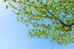 Πράσινο φύλλο στο μπλε ουρανό Στοκ Εικόνες