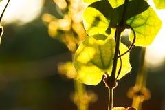 Πράσινο φύλλο στο φωτισμό Στοκ Εικόνες