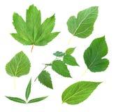 Πράσινο φύλλο συλλογής Στοκ Εικόνες