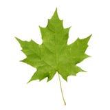 Πράσινο φύλλο σφενδάμου Στοκ Εικόνες