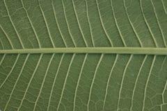 Πράσινο φύλλο, σύσταση του πράσινου φύλλου στοκ εικόνα