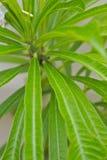 Πράσινο φύλλο του άσπρου frangipani Στοκ Εικόνες