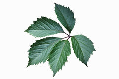 Πράσινο φύλλο του αναρριχητικού φυτού της Βιρτζίνια Στοκ Εικόνες