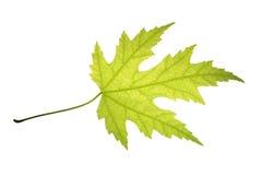 Πράσινο φύλλο του ασημένιου σφενδάμνου που απομονώνεται στο άσπρο υπόβαθρο Στοκ Εικόνες
