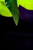 Πράσινο φύλλο του λεμονιού σε ένα μαύρο υπόβαθρο υποβάθρου Στοκ εικόνες με δικαίωμα ελεύθερης χρήσης