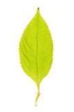 Πράσινο φύλλο του μικρού βάλσαμου που απομονώνεται στο λευκό Στοκ εικόνες με δικαίωμα ελεύθερης χρήσης