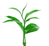 Πράσινο φύλλο τσαγιού που απομονώνεται στο άσπρο υπόβαθρο Στοκ εικόνες με δικαίωμα ελεύθερης χρήσης