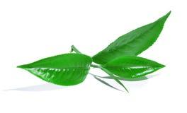 Πράσινο φύλλο τσαγιού που απομονώνεται στο άσπρο υπόβαθρο Στοκ Φωτογραφίες