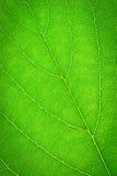 Πράσινο φύλλο, υπόβαθρο σύστασης, μακροεντολή Στοκ εικόνες με δικαίωμα ελεύθερης χρήσης