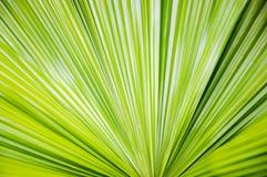 Πράσινο φύλλο φοινικών Στοκ Εικόνα