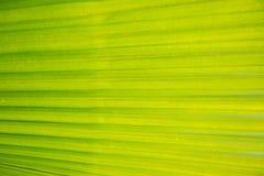 Πράσινο φύλλο φοινικών Στοκ Φωτογραφία
