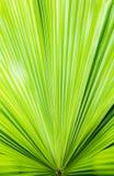 Πράσινο φύλλο φοινικών Στοκ φωτογραφίες με δικαίωμα ελεύθερης χρήσης