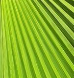 Πράσινο φύλλο φοινικών Στοκ εικόνες με δικαίωμα ελεύθερης χρήσης
