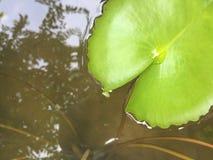Πράσινο φύλλο λωτού στη λίμνη Στοκ Εικόνες