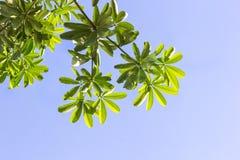 πράσινο φύλλο ελεύθερη απεικόνιση δικαιώματος