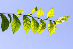 πράσινο φύλλο διανυσματική απεικόνιση