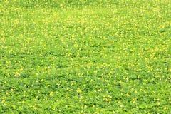 Πράσινο φύλλο Arachis του pintoi Στοκ Εικόνες