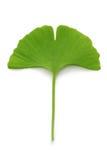 πράσινο φύλλο ginkgo biloba Στοκ φωτογραφία με δικαίωμα ελεύθερης χρήσης