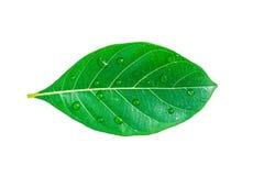 Πράσινο φύλλο jackfruit που απομονώνεται στο άσπρο υπόβαθρο Στοκ Εικόνα
