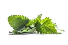 Πράσινο φύλλο melissa ν του άσπρου υποβάθρου Στοκ Φωτογραφία
