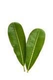 Πράσινο φύλλο plumeria που απομονώνεται Στοκ εικόνες με δικαίωμα ελεύθερης χρήσης