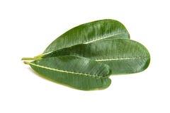 Πράσινο φύλλο plumeria που απομονώνεται Στοκ Εικόνα