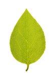 Πράσινο φύλλο Sakhalin του δέντρου αξόνων που απομονώνεται στο λευκό Στοκ Φωτογραφίες