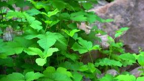 Πράσινο φύλλωμα του κισσού δηλητήριων που κινείται από ένα αεράκι απόθεμα βίντεο