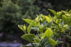 Πράσινο φύλλωμα Στοκ εικόνες με δικαίωμα ελεύθερης χρήσης