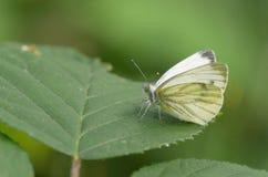 πράσινο φλεβώές λευκό pieris napi Στοκ φωτογραφία με δικαίωμα ελεύθερης χρήσης