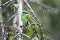 Πράσινο χαριτωμένο birdï ¼ ŒKingfisher Στοκ φωτογραφίες με δικαίωμα ελεύθερης χρήσης