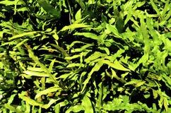Πράσινο χορτάρι χλόης ή φρένο, φτέρη Στοκ φωτογραφία με δικαίωμα ελεύθερης χρήσης