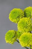 Πράσινο χρυσάνθεμο στο γκρίζο υπόβαθρο στοκ φωτογραφίες