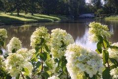 πράσινο χρώμα νερού φωτός του ήλιου κήπων πάρκων hydrangea Στοκ εικόνα με δικαίωμα ελεύθερης χρήσης