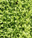 Πράσινο χρώμα του κάθετου υποβάθρου εγκαταστάσεων αναρριχητικών φυτών Στοκ Εικόνες