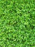 Πράσινο χρώμα του κάθετου υποβάθρου φύλλων Στοκ Εικόνα