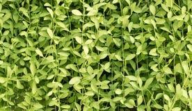 Πράσινο χρώμα του οριζόντιου υποβάθρου εγκαταστάσεων αναρριχητικών φυτών Στοκ Φωτογραφία