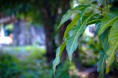 Πράσινο χρώμα φύλλων μάγκο στη φύση Στοκ Εικόνα