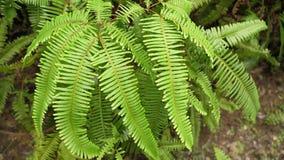 Πράσινο ψεύτικο φύλλο φτερών Staghorn φύσης στο βοτανικό κήπο της Ταϊβάν Ταϊπέι απόθεμα βίντεο