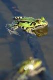 πράσινο ύδωρ βατράχων Στοκ Εικόνα