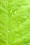 πράσινο ύδωρ φύλλων σταγονίδιων Στοκ Φωτογραφίες