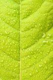 πράσινο ύδωρ φύλλων σταγονίδιων Στοκ εικόνες με δικαίωμα ελεύθερης χρήσης