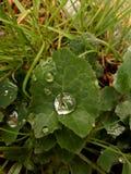 πράσινο ύδωρ φύλλων σταγονίδιων Στοκ Φωτογραφία