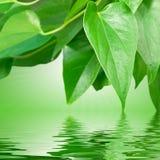 πράσινο ύδωρ φύλλων Στοκ φωτογραφία με δικαίωμα ελεύθερης χρήσης