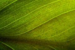πράσινο ύδωρ φύλλων απελε& Στοκ Εικόνα
