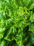 Πράσινο ώριμο μαρούλι στοκ εικόνες