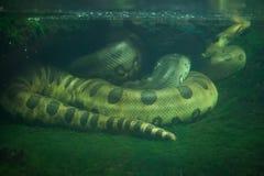 Πράσινο anaconda (murinus Eunectes) στοκ εικόνες με δικαίωμα ελεύθερης χρήσης
