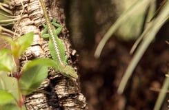 Πράσινο anole γνωστό επιστημονικά ως Anolis Carolinensis Στοκ Φωτογραφία