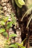 Πράσινο anole γνωστό επιστημονικά ως Anolis Carolinensis Στοκ Εικόνες