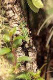 Πράσινο anole γνωστό επιστημονικά ως Anolis Carolinensis Στοκ εικόνα με δικαίωμα ελεύθερης χρήσης
